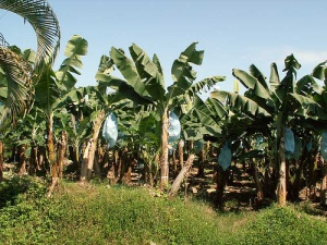Banana plantation online photo by Tom.